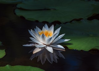 white lotus floating on body of water