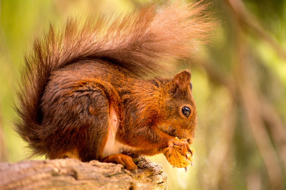 squirrel eating nut in selective focus photography