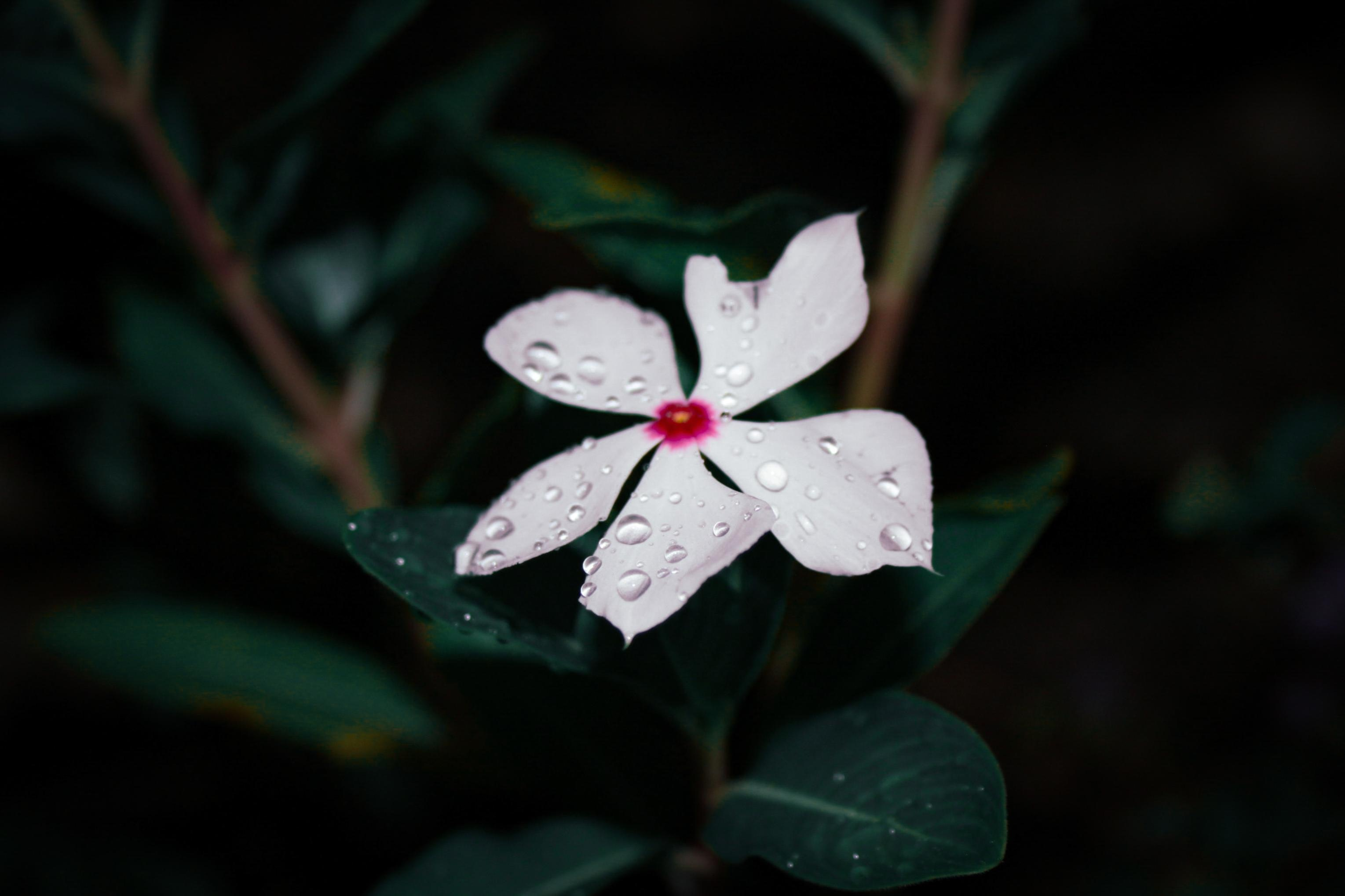 periwinkle in bloom with water droplets