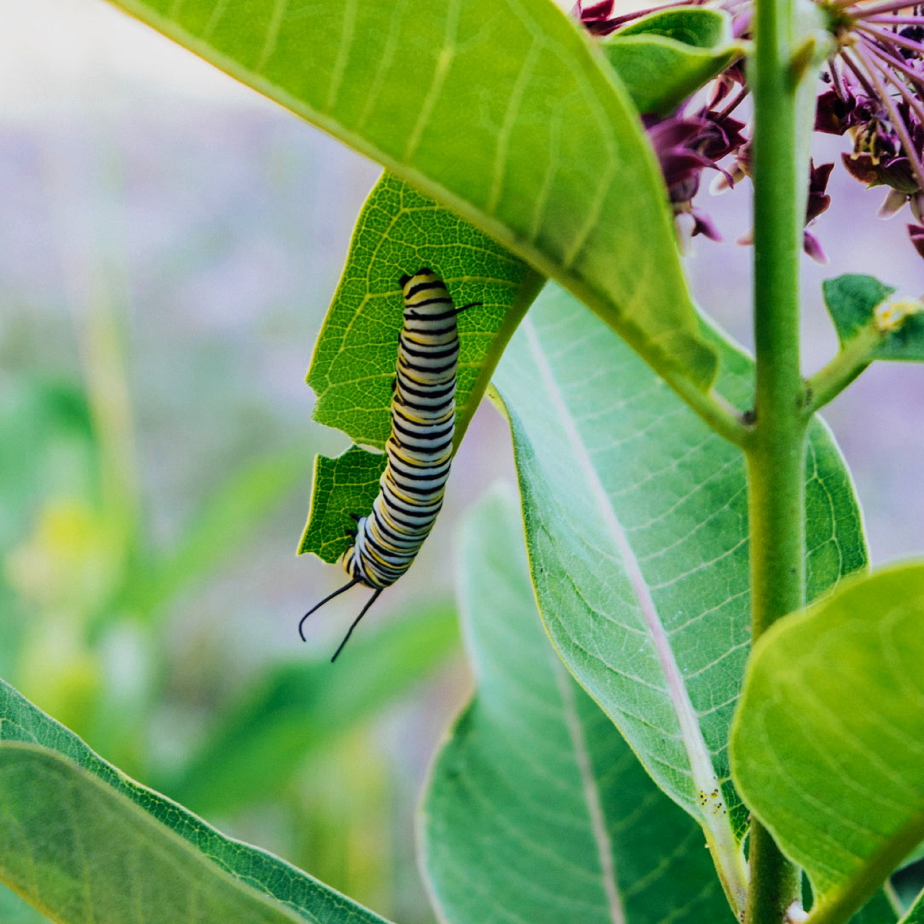 monarch caterpillar on green leaf in closeup photo