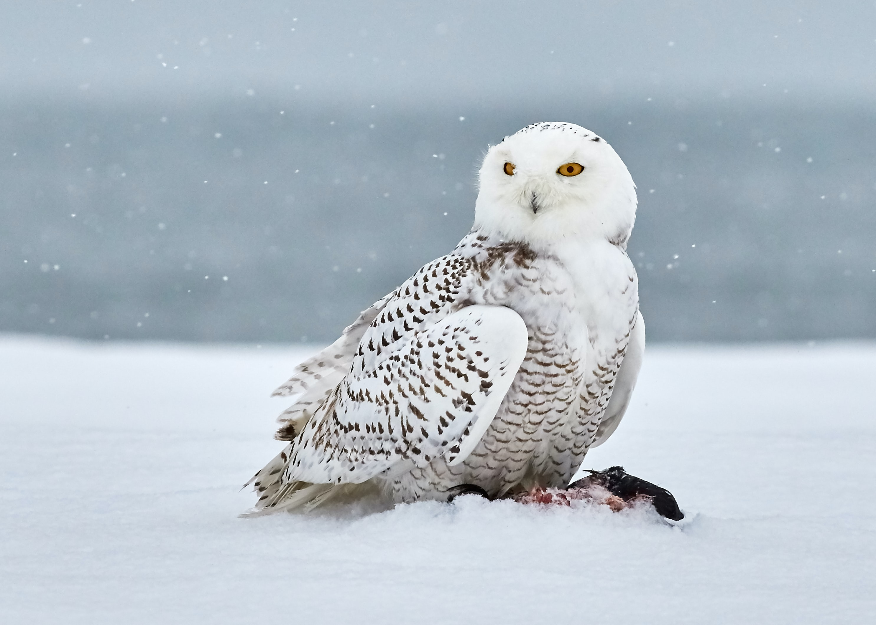 snow owl on snow covered field