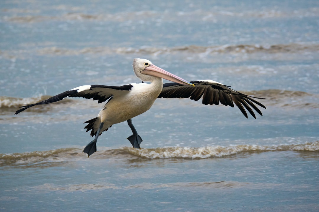 A pelican flies in to join its friends at the Cairns esplanade, Australia.