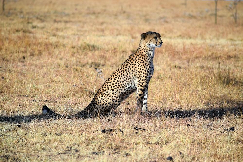 Leopard sitting in Kenya | HD photo by Ryan Harvey