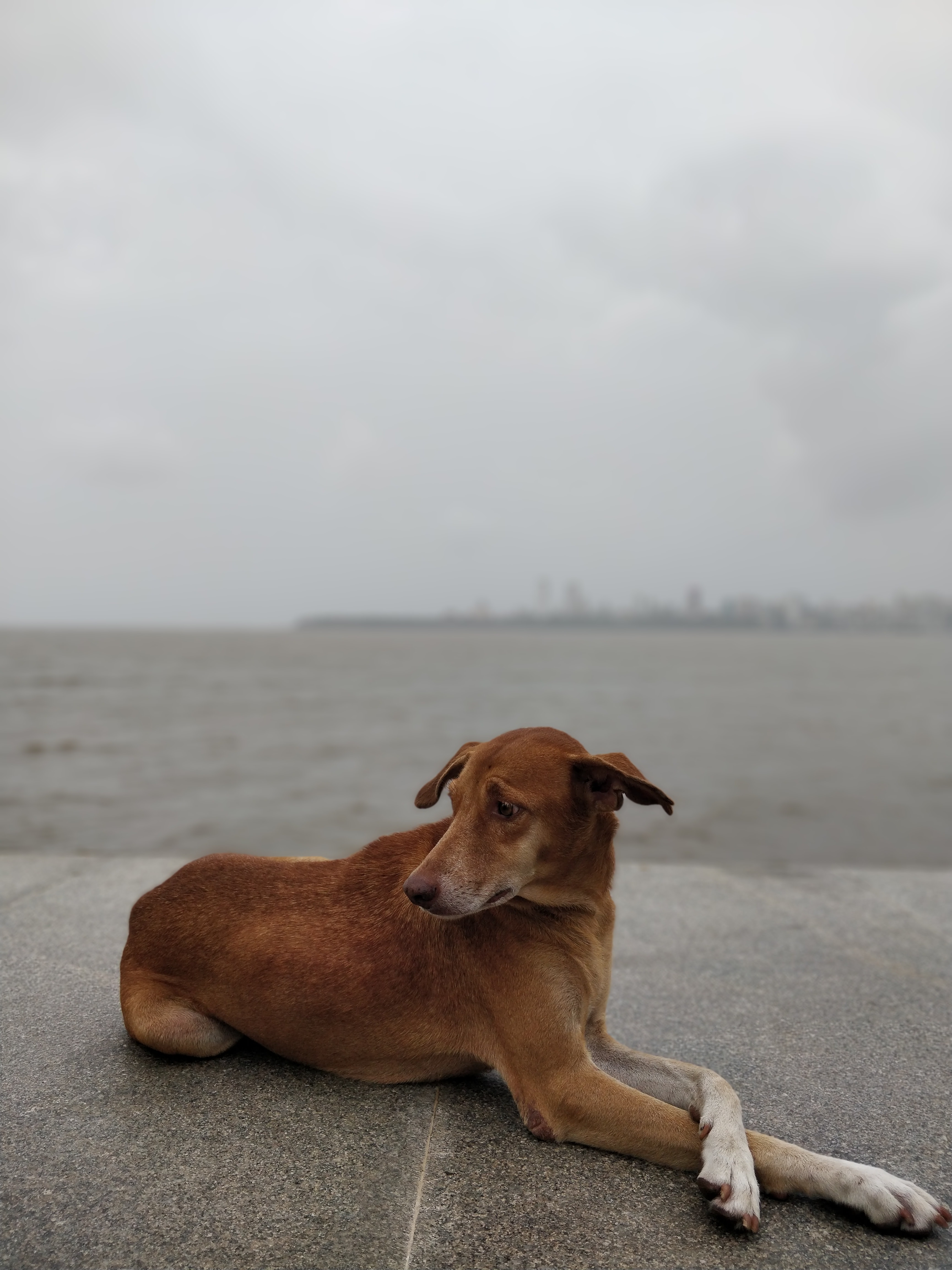 short-coated brown dog laying on pavement on a cloudy day