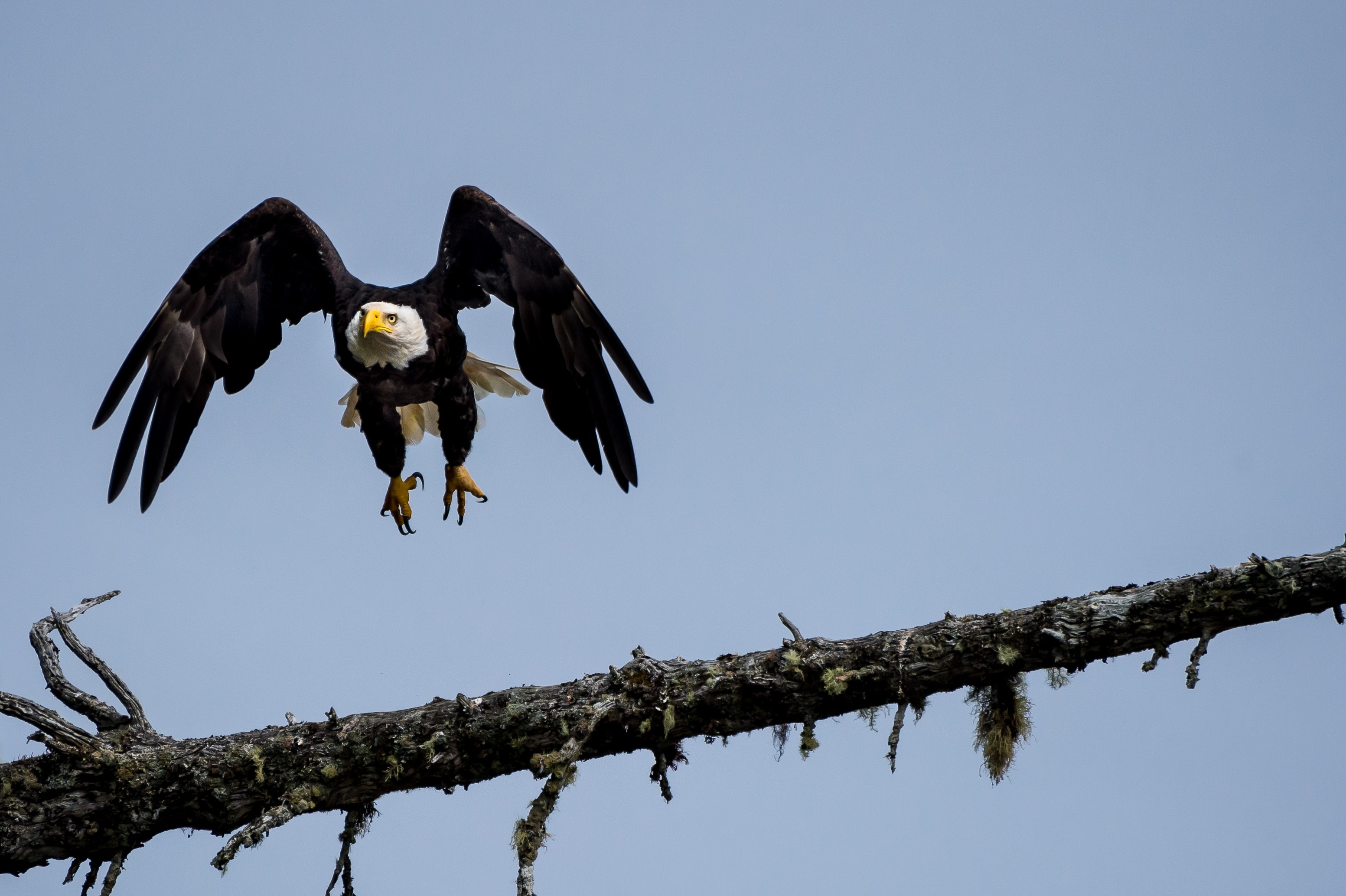 black bald eagle about to perch on branch