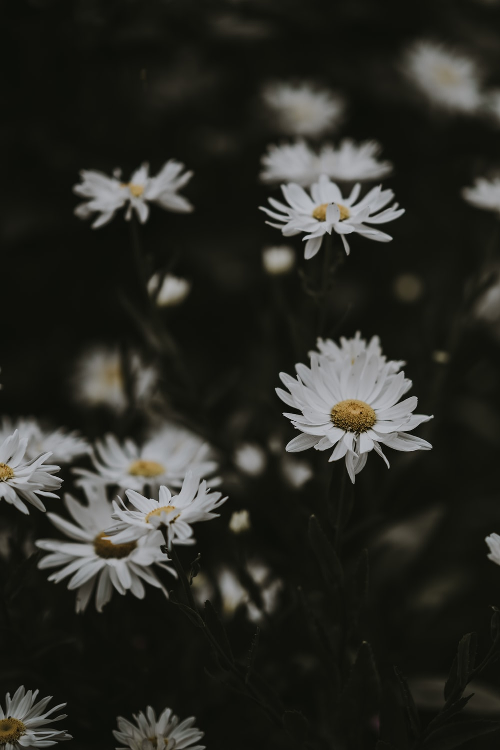 close up photography of white daisy flowers