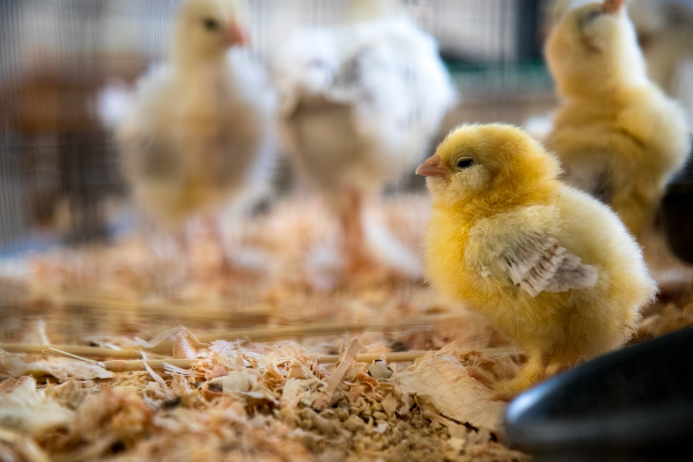shallow focus photography of yellow chick