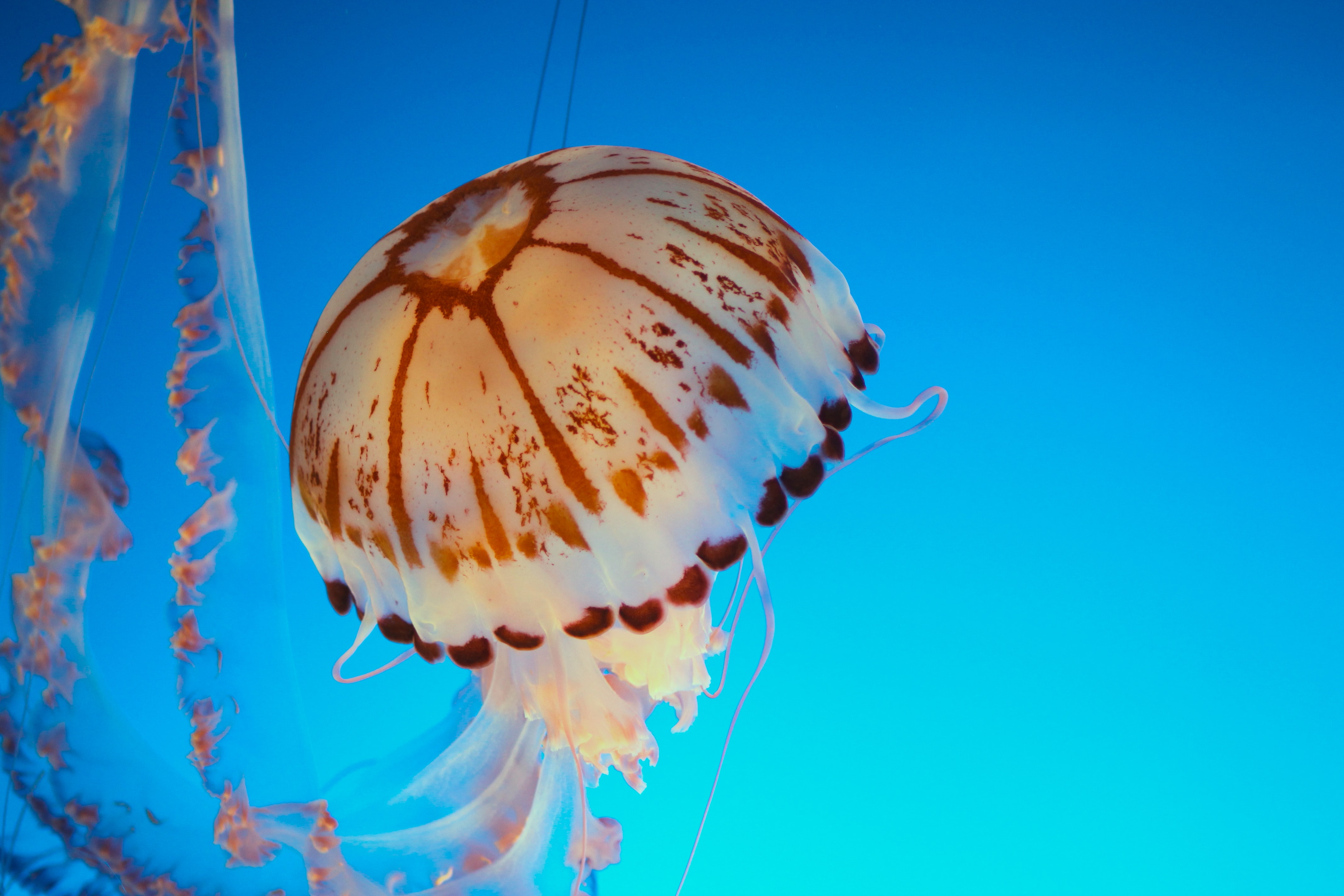 underwater photography of white and brown jellyfish