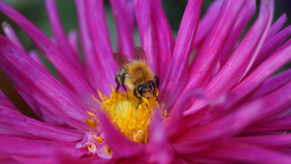 brown bee on pink flower