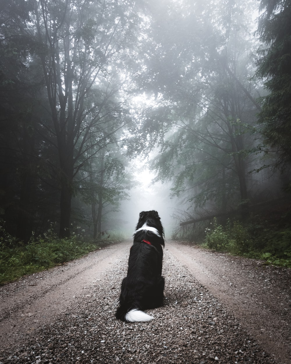 short-coated black and white dog sitting on road path