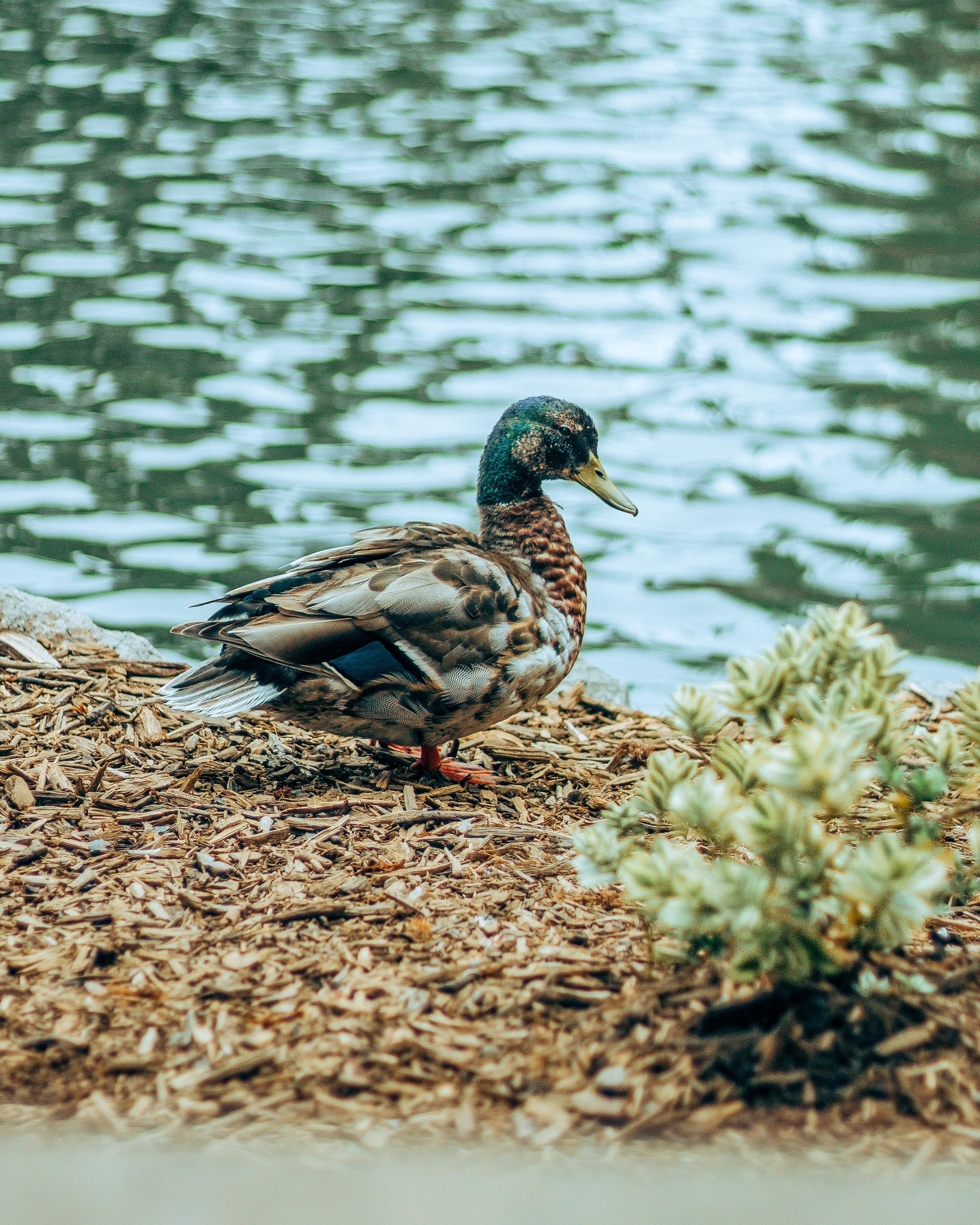white and brown mallard duck