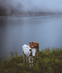 two brown and white cow beside body of water