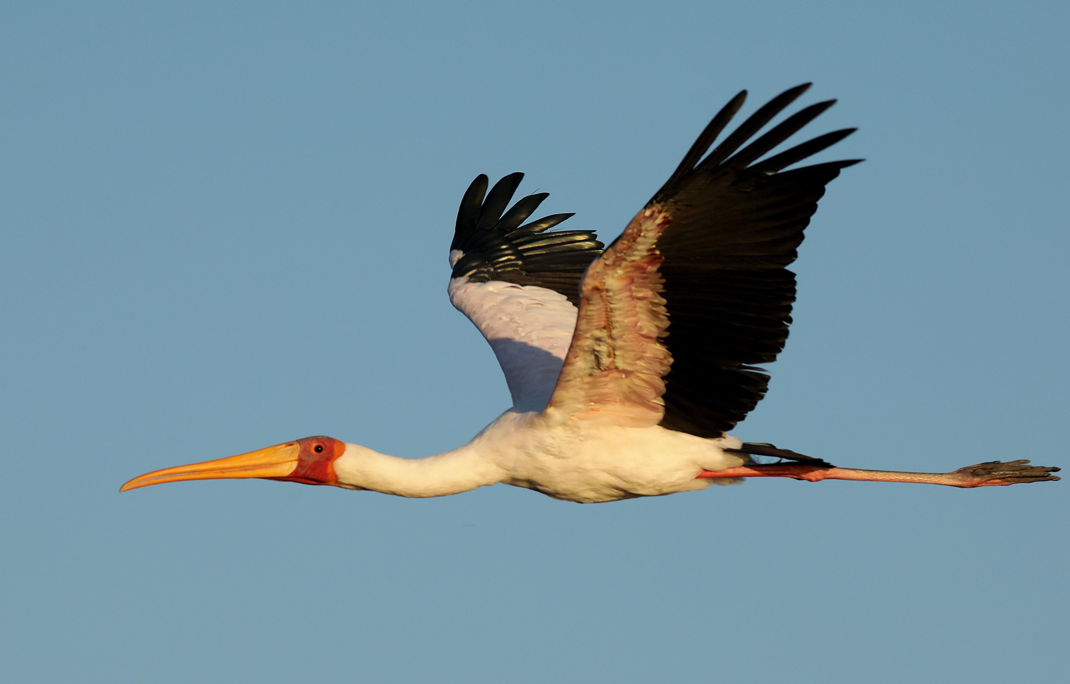 flying white and black crane