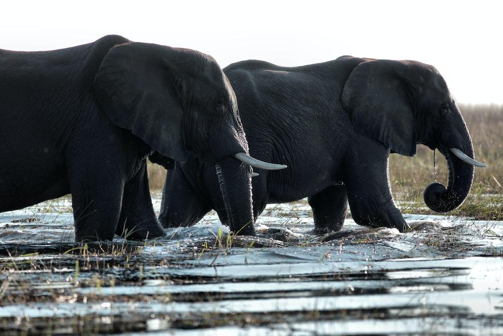 two black elephants walking in water