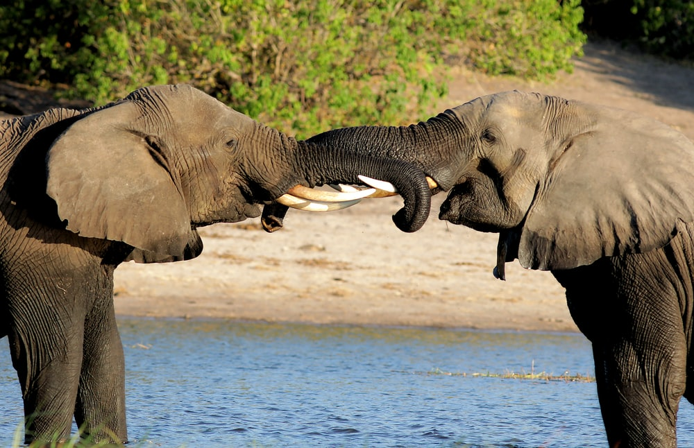 two gray elephant fighting using tusks