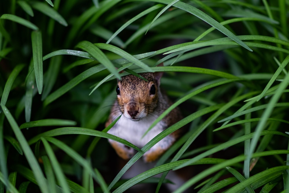 brown squirrel hiding on grass at daytime