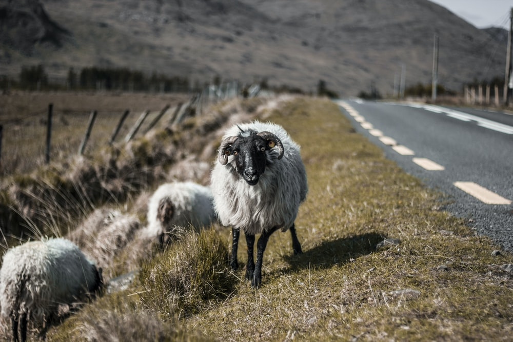 shift-tilt lens photography of sheep