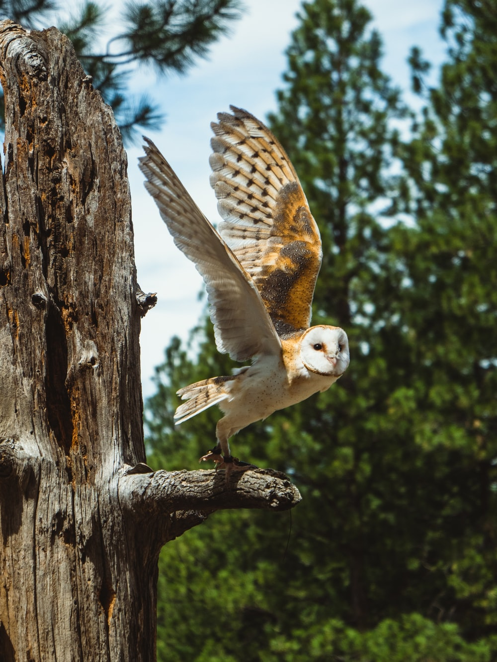 white and yellow owl spread wings