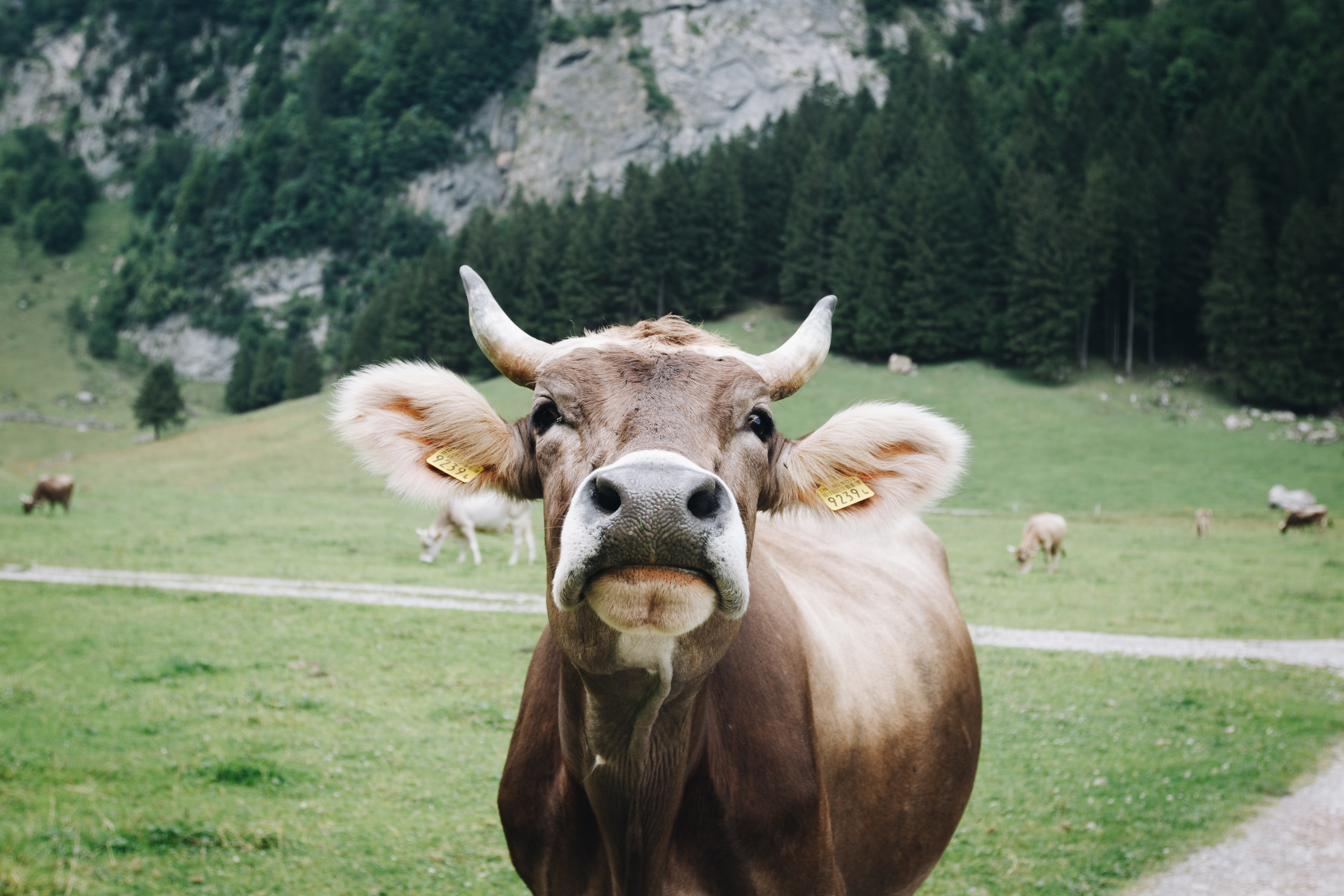 shallow focus photography of brown cow