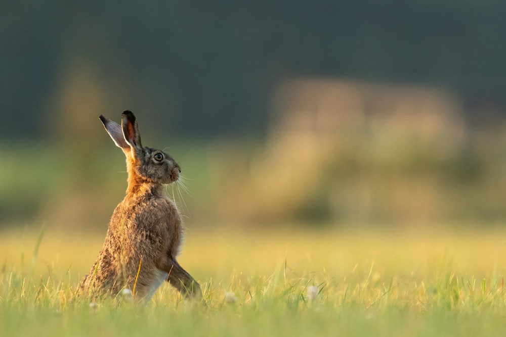 depth of field photo of brown and black rabbit on green grass field