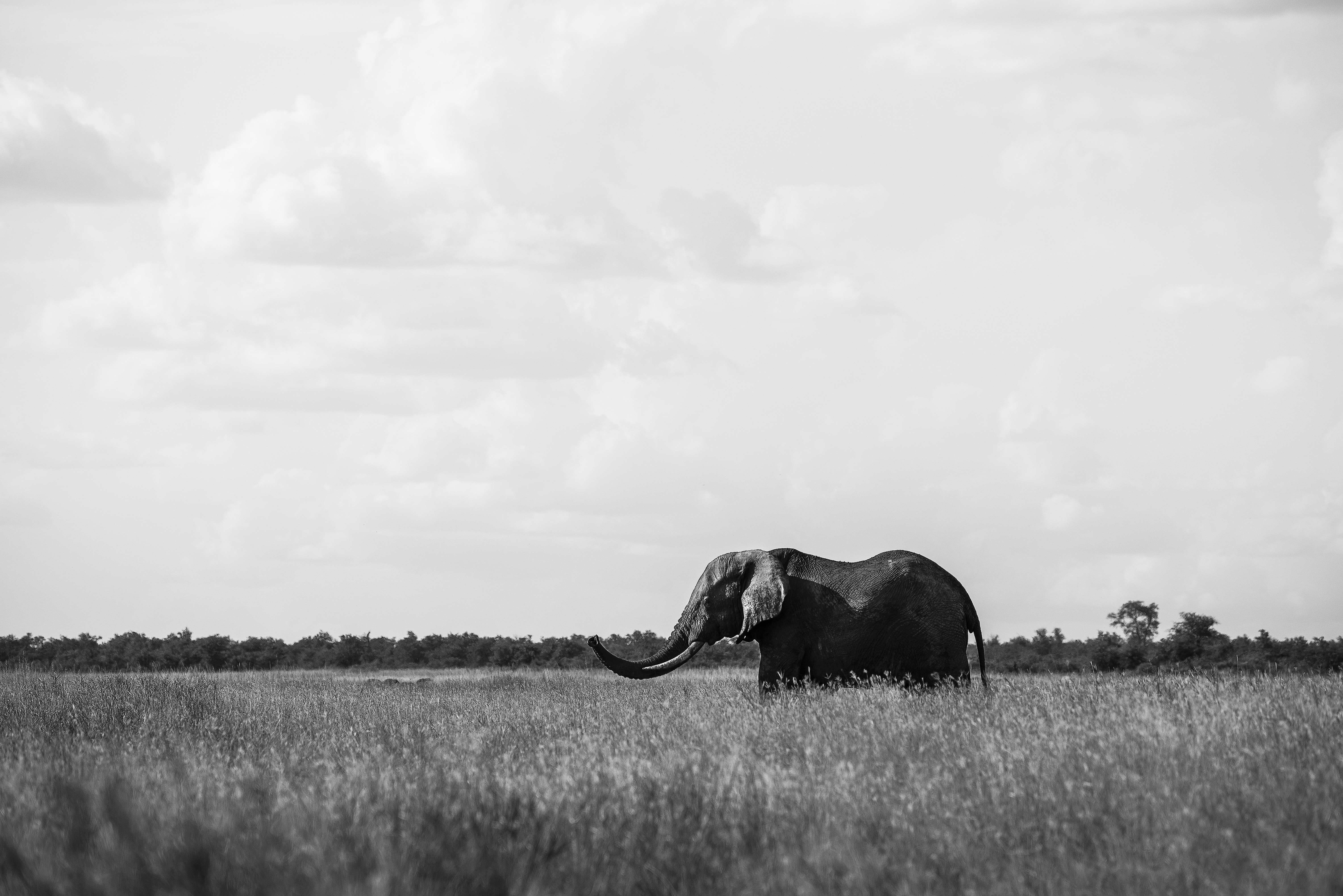 grayscale photo of elephant on grass field
