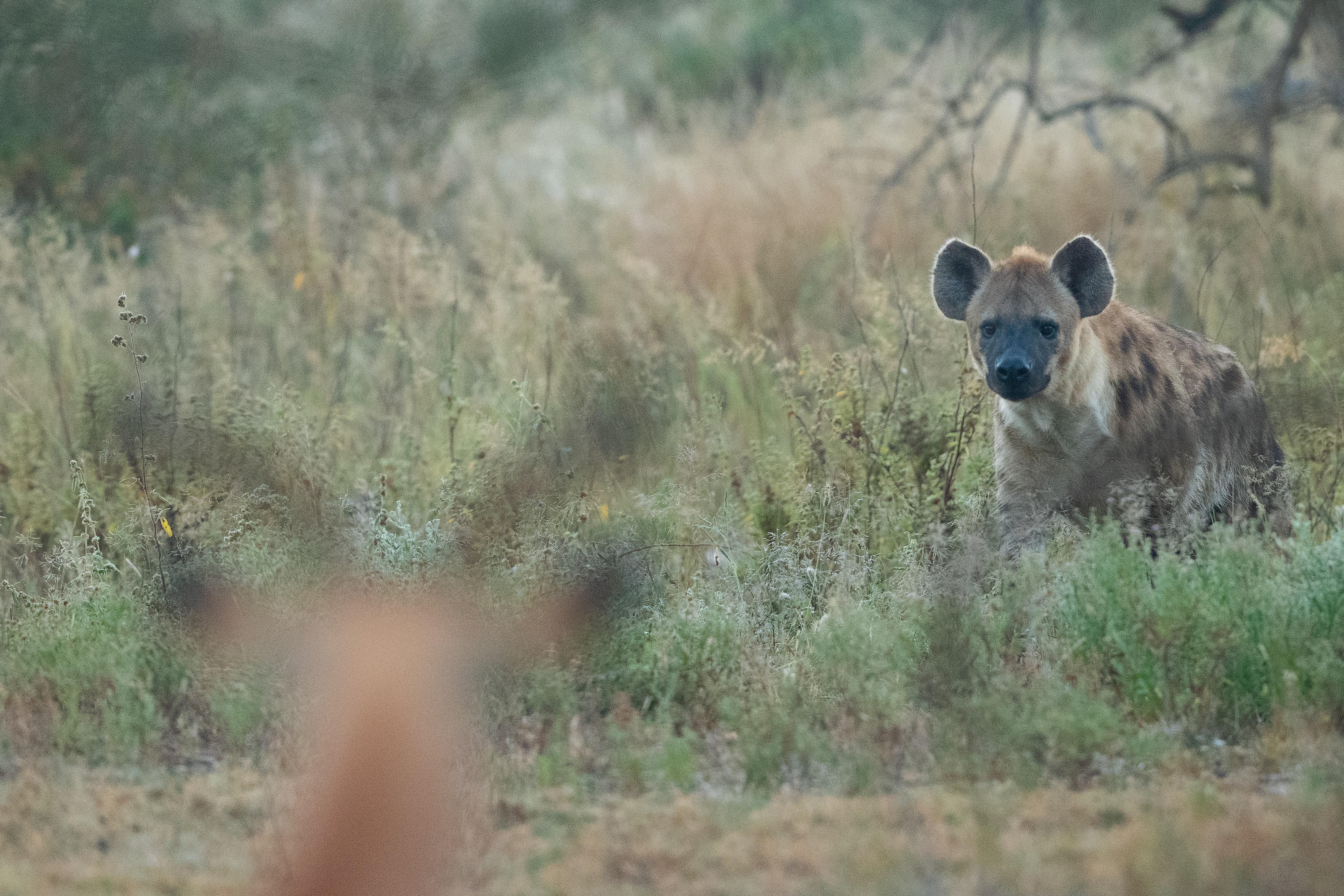 Hyena on grass