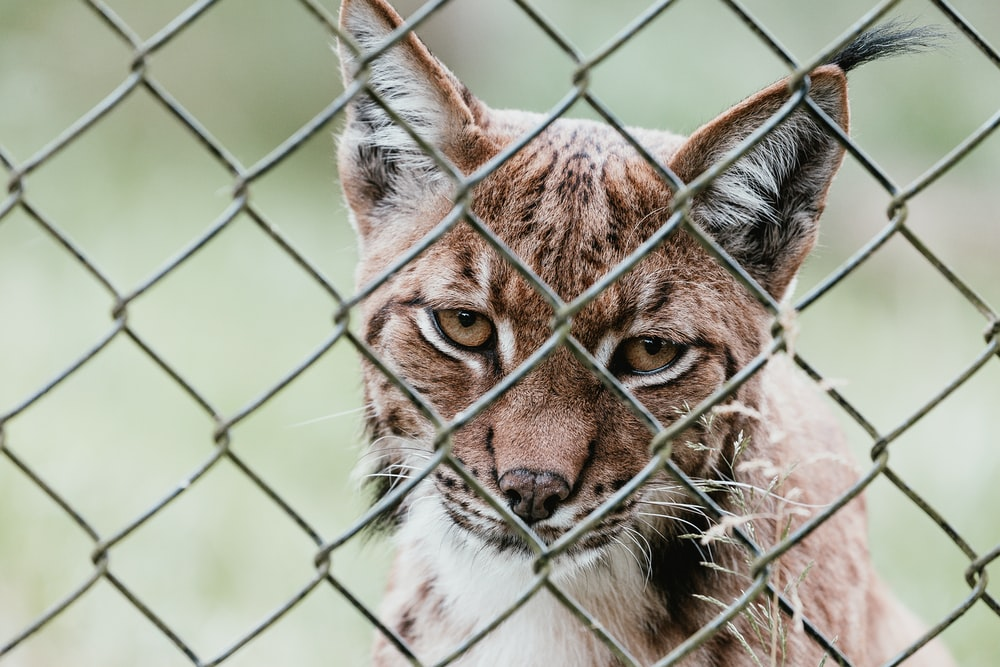 brown wild cat behind cyclone fence