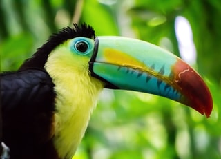 selective focus photo of yellow and black toucan