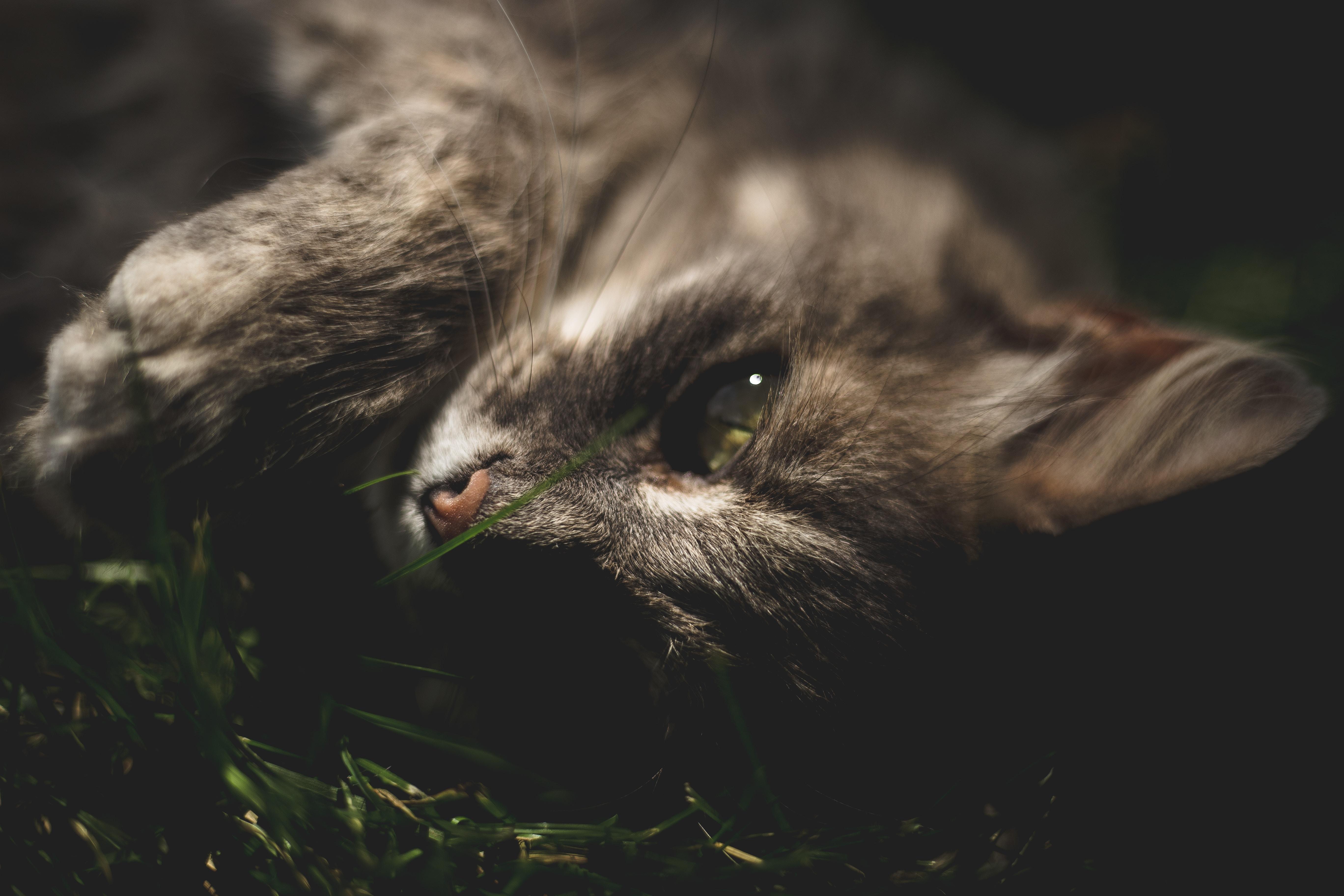 gray cat lying on grass