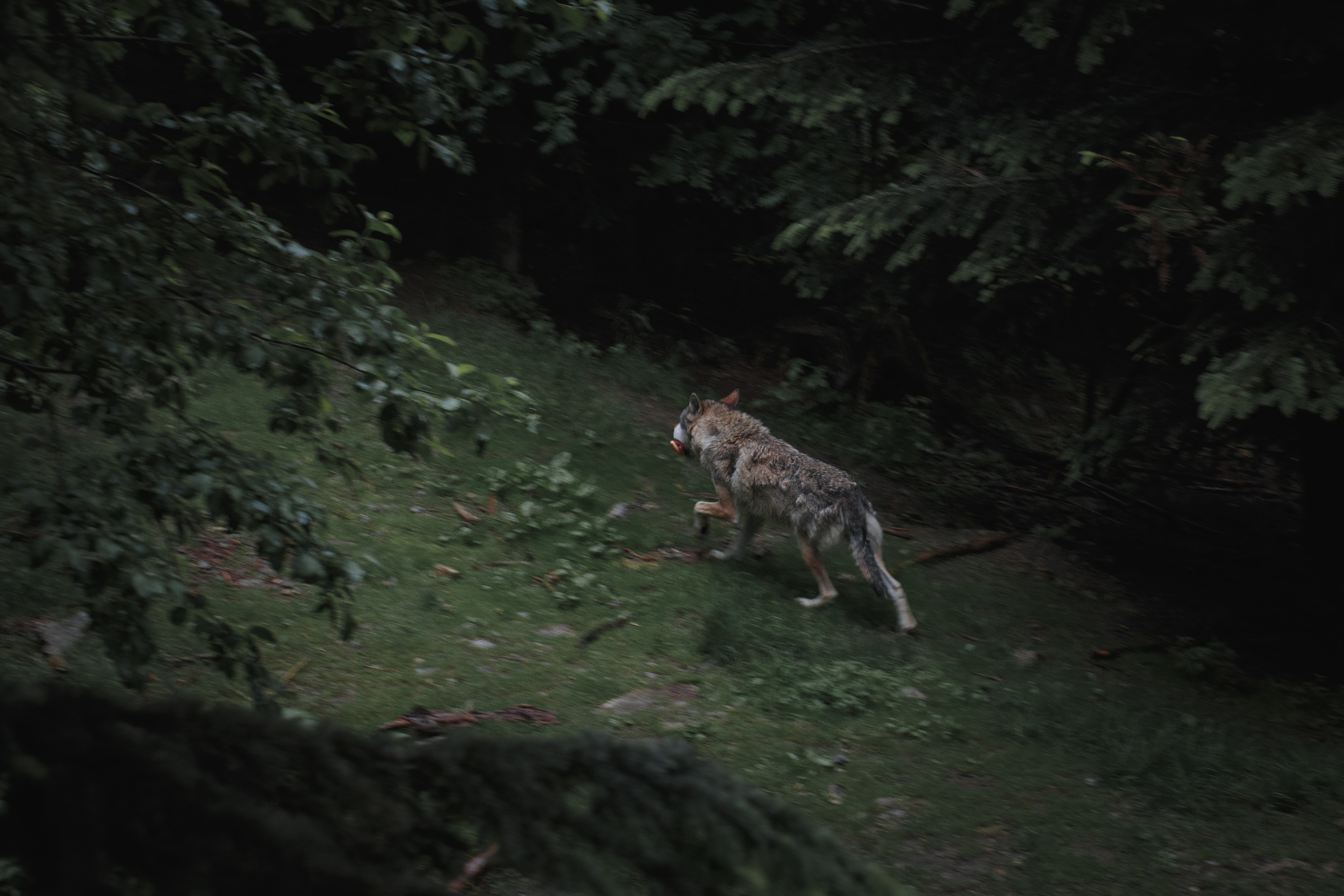 wolf hunting in wild