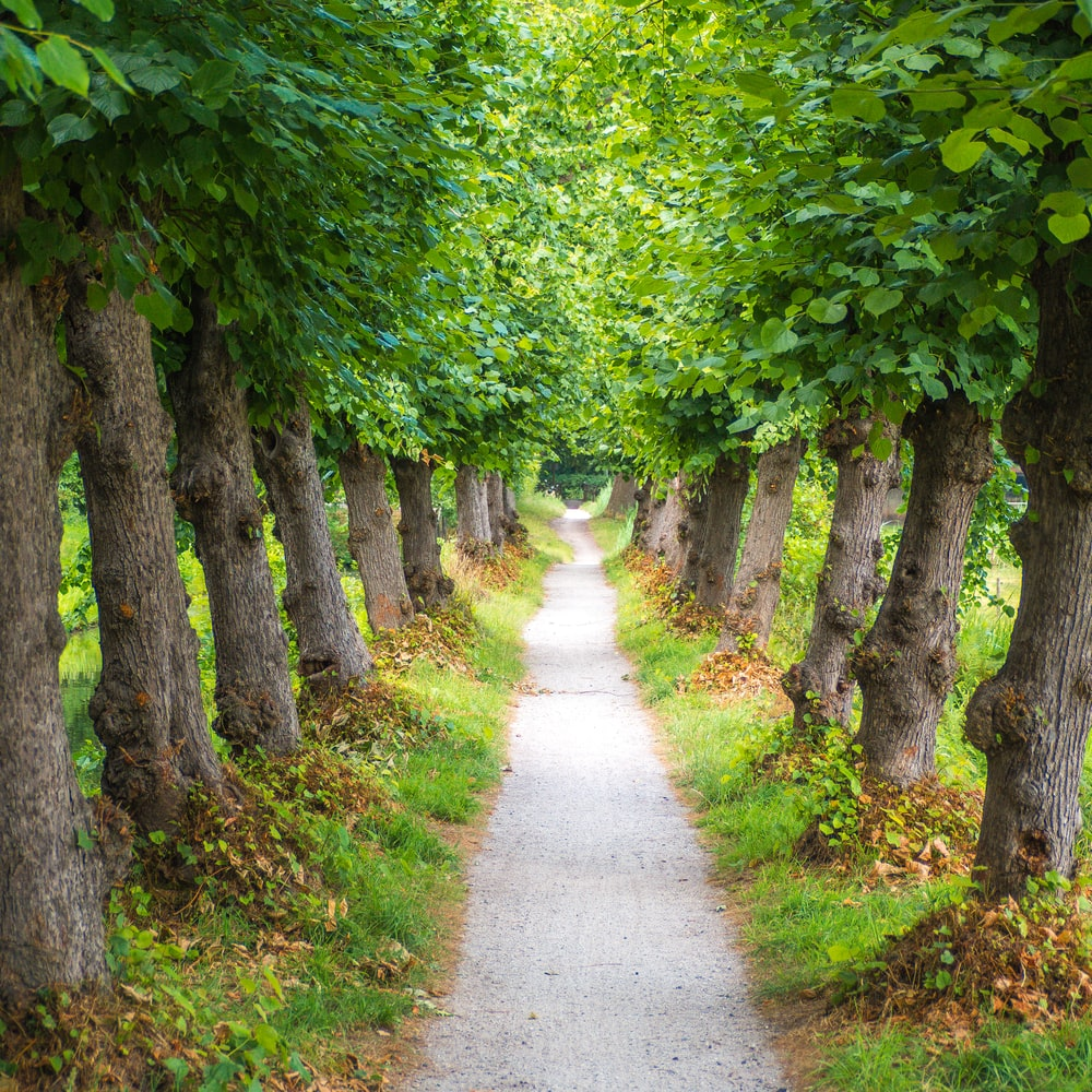 gray pathway between green leafed trees