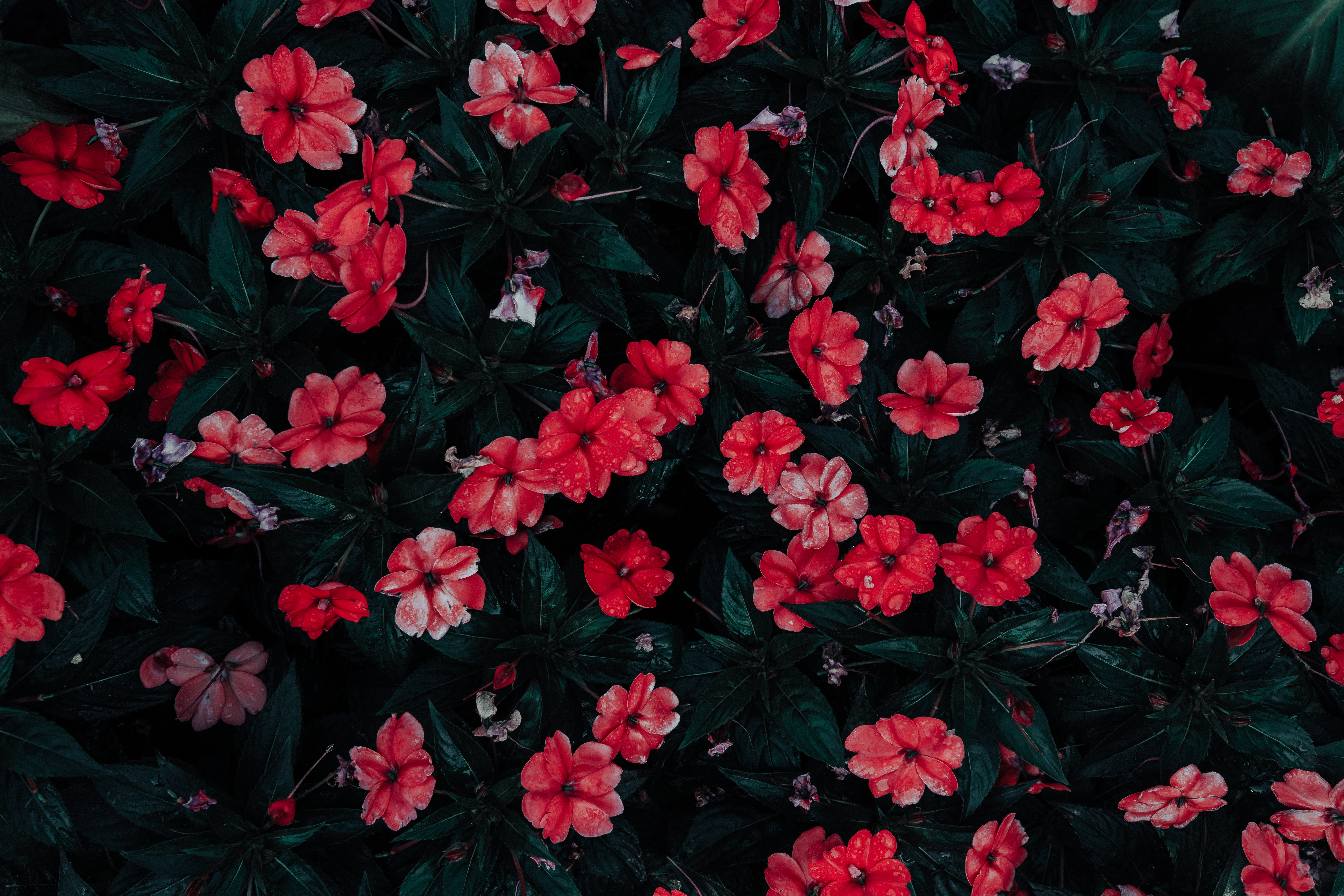 red petaled flowers in close-up photography