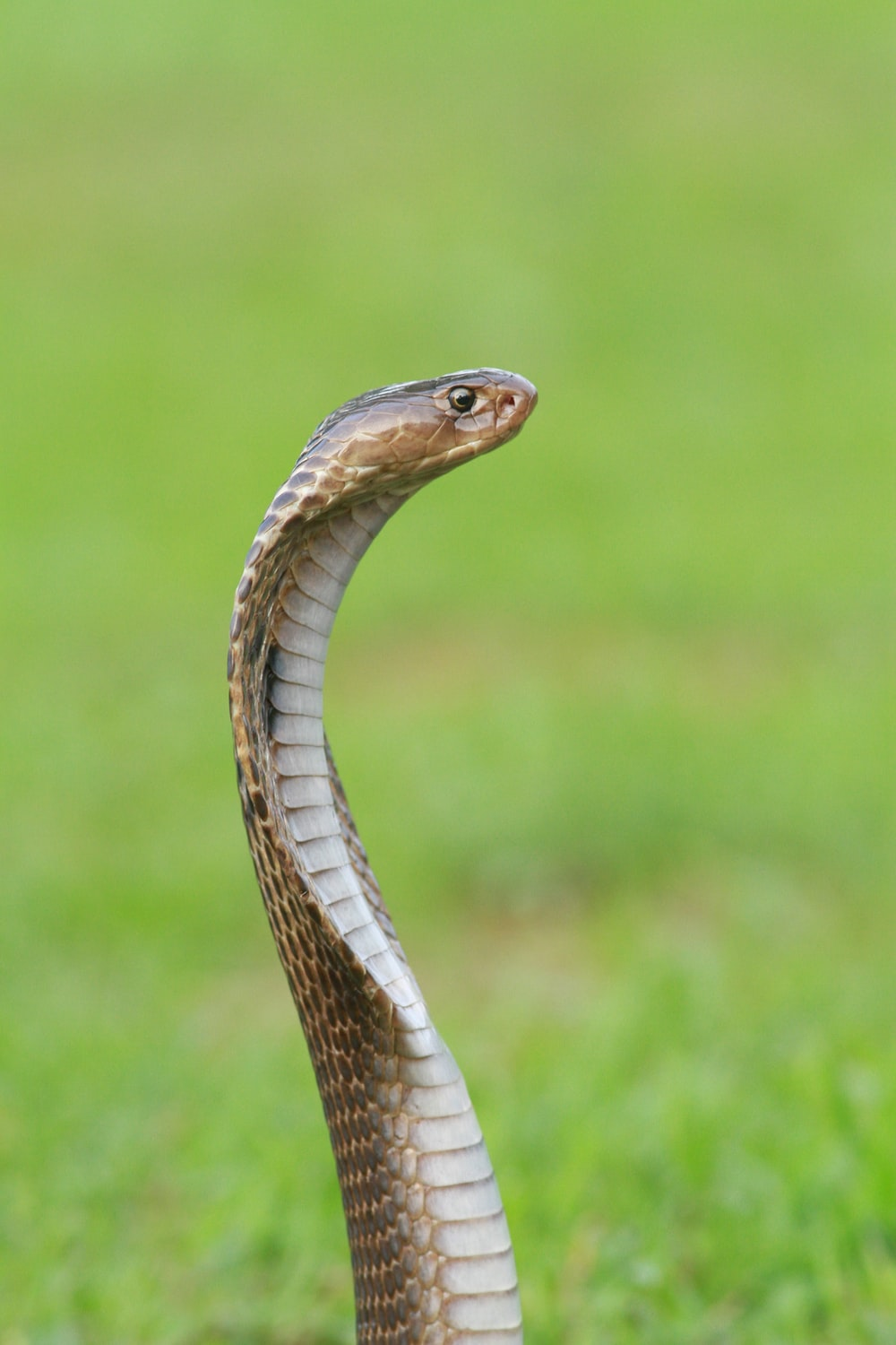 close-up photo of brown and gray snake