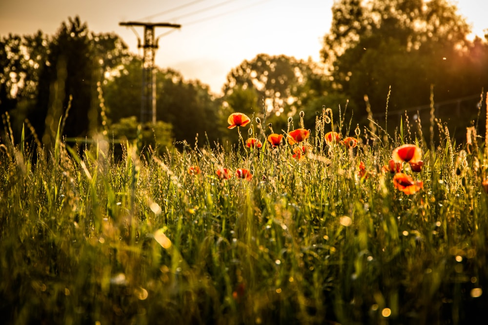 red petaled flower field near utility post at daytime