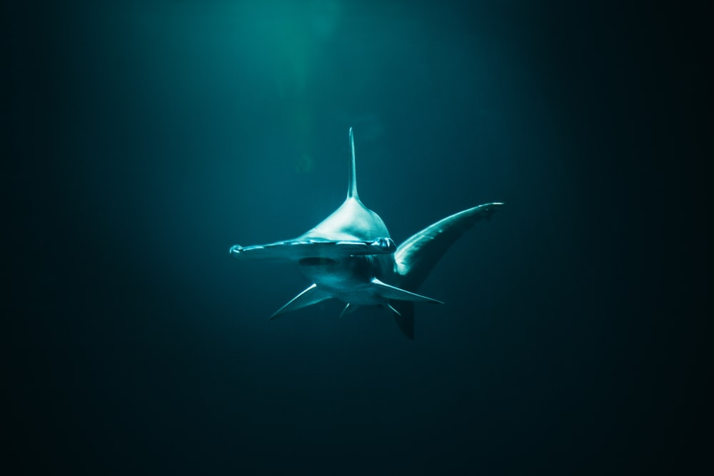 closeup photo of hammerhead shark