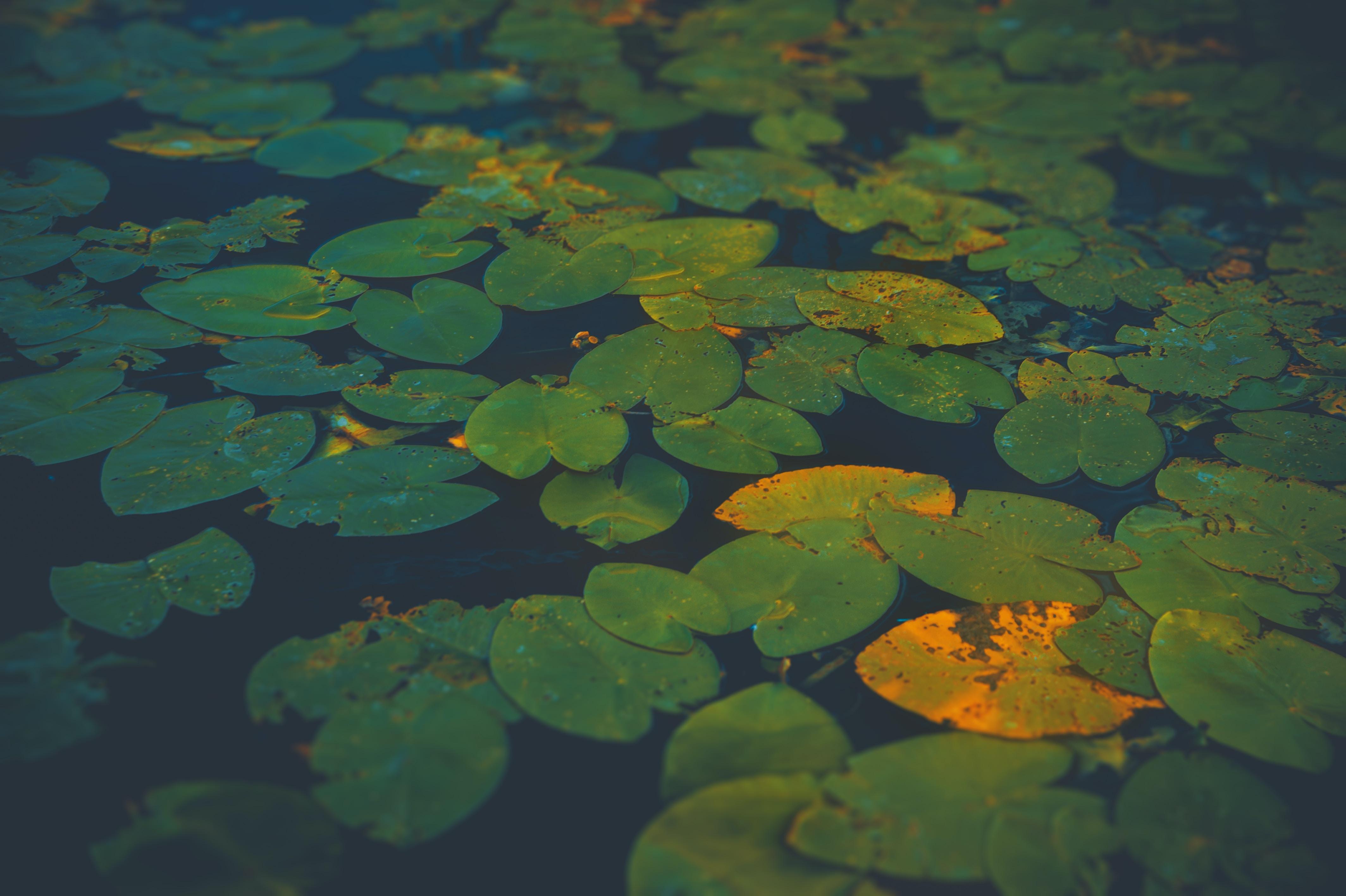 green pond plant