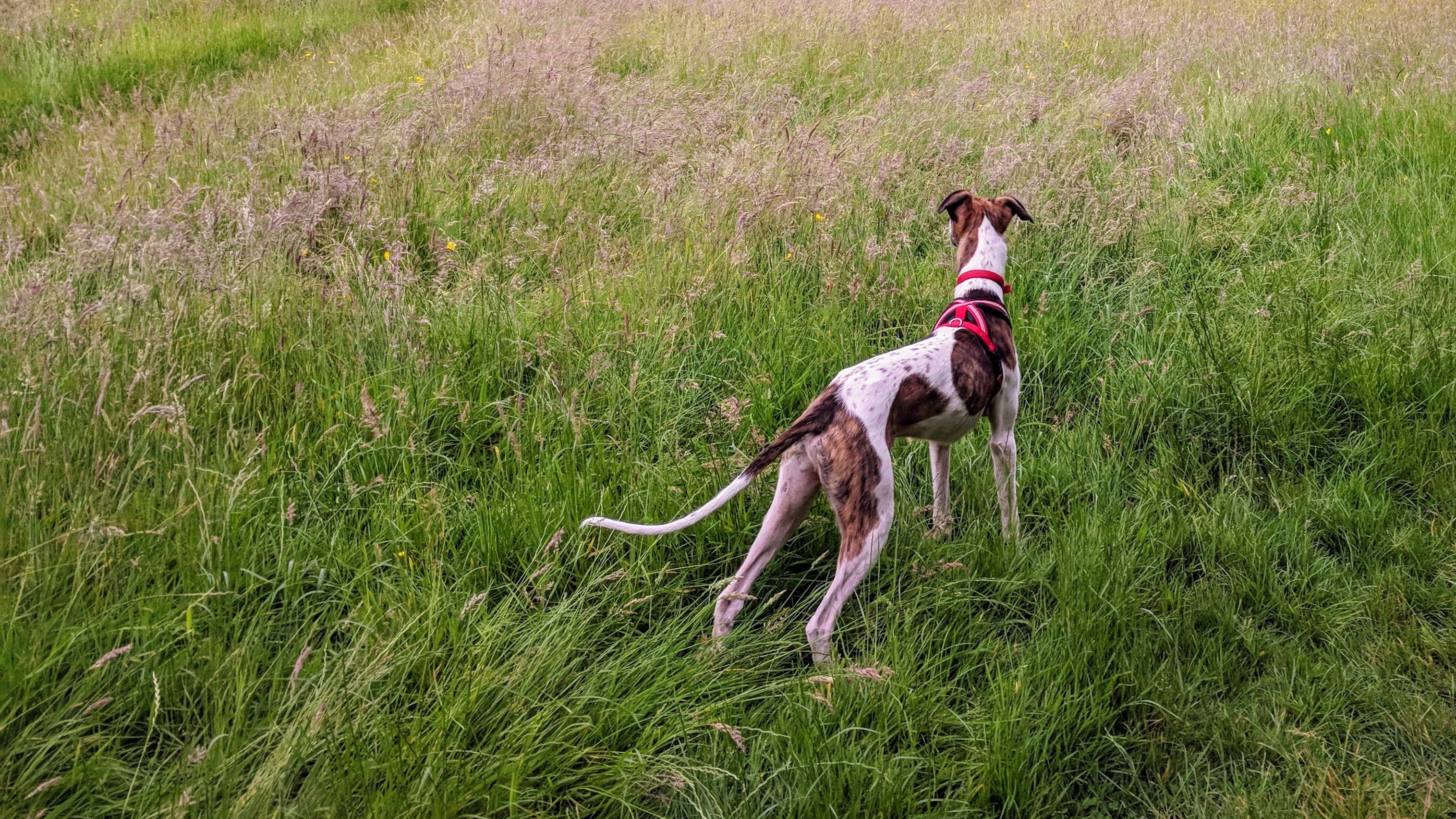 short-coated white and brown dog standing on green lawn grasses