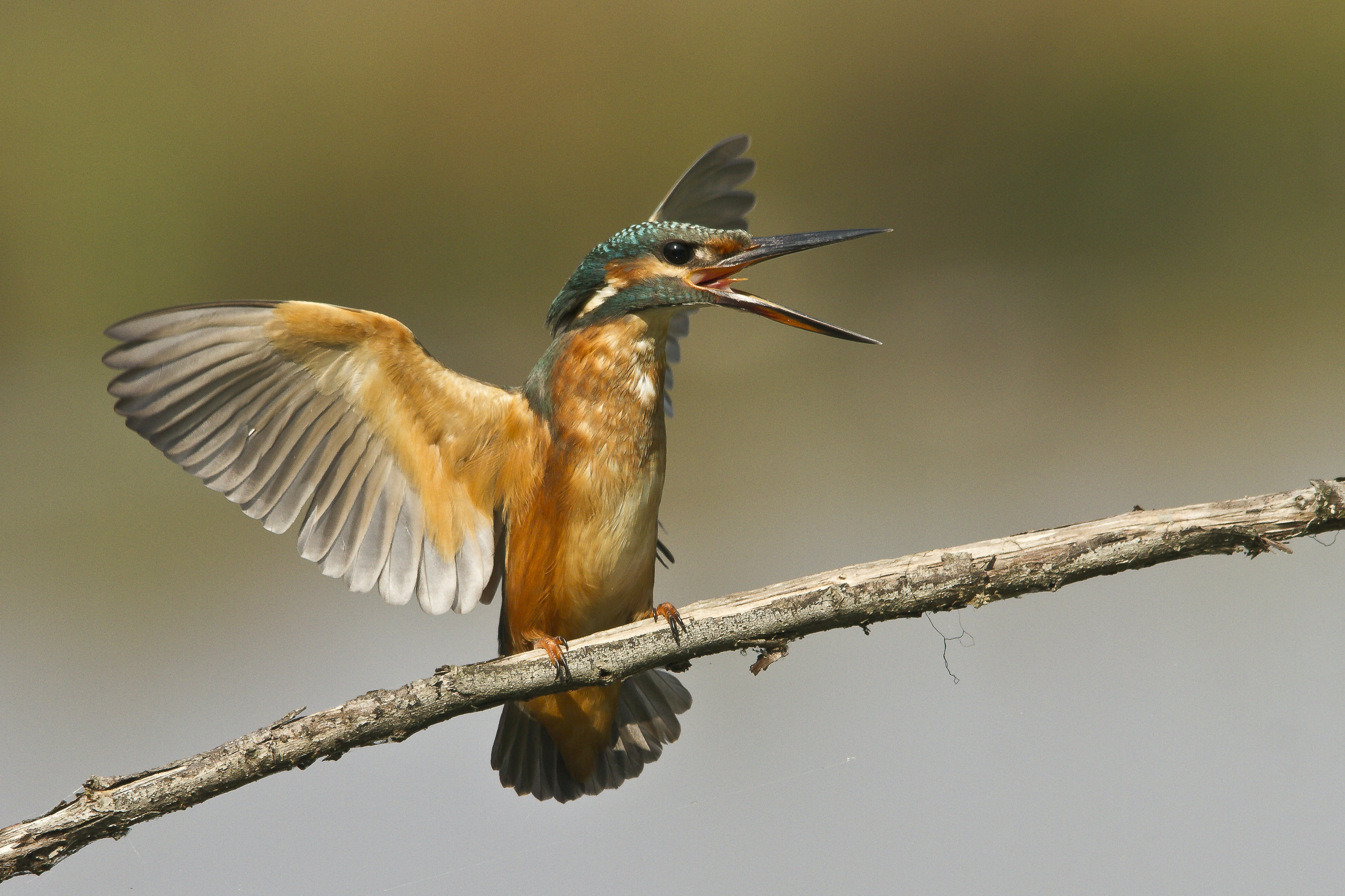 selective focus photograph of kingfisher perching on twig about to fly