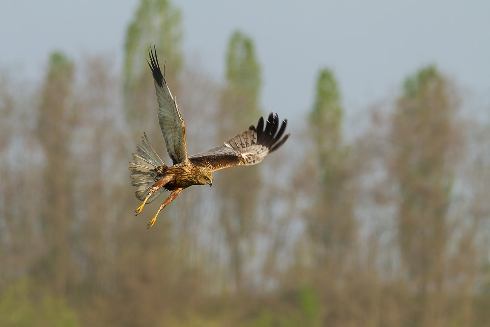 flying bald eagle in selective focus photography
