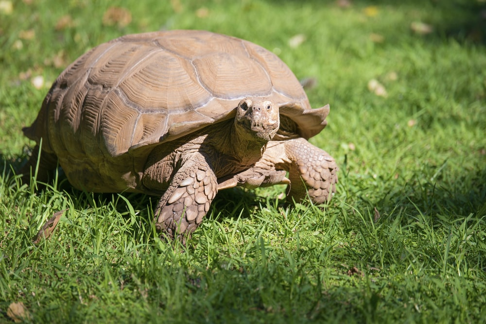 brown tortoise on lawn under sunny sky