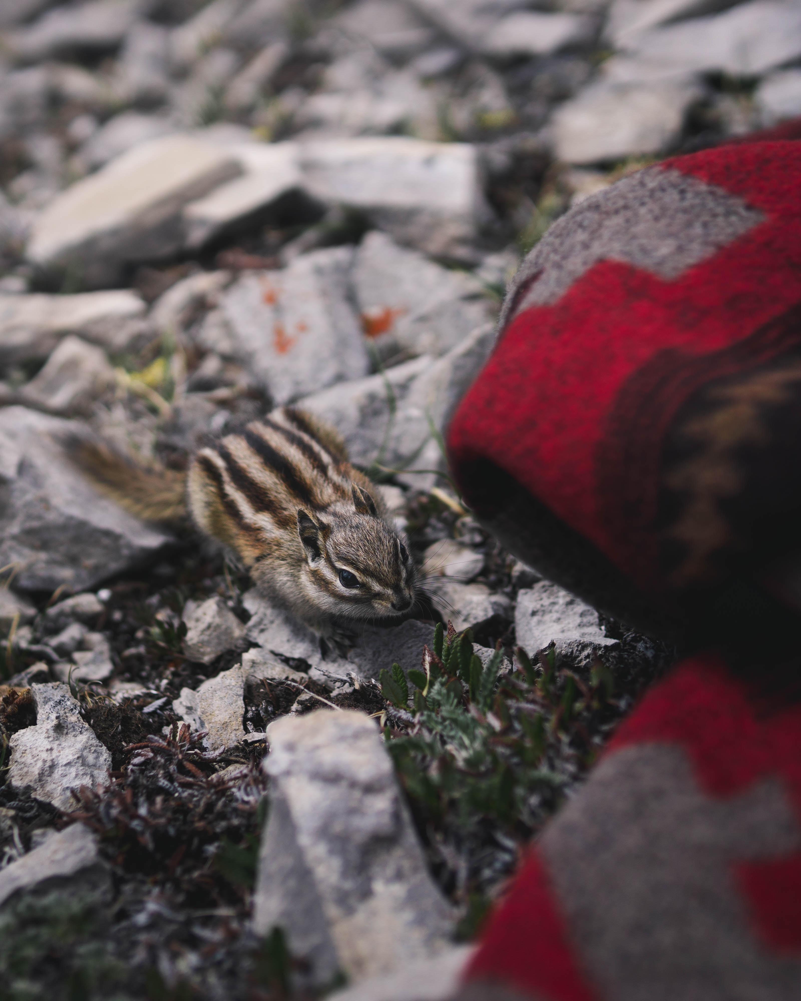 closeup photo of chipmunk on gray stone