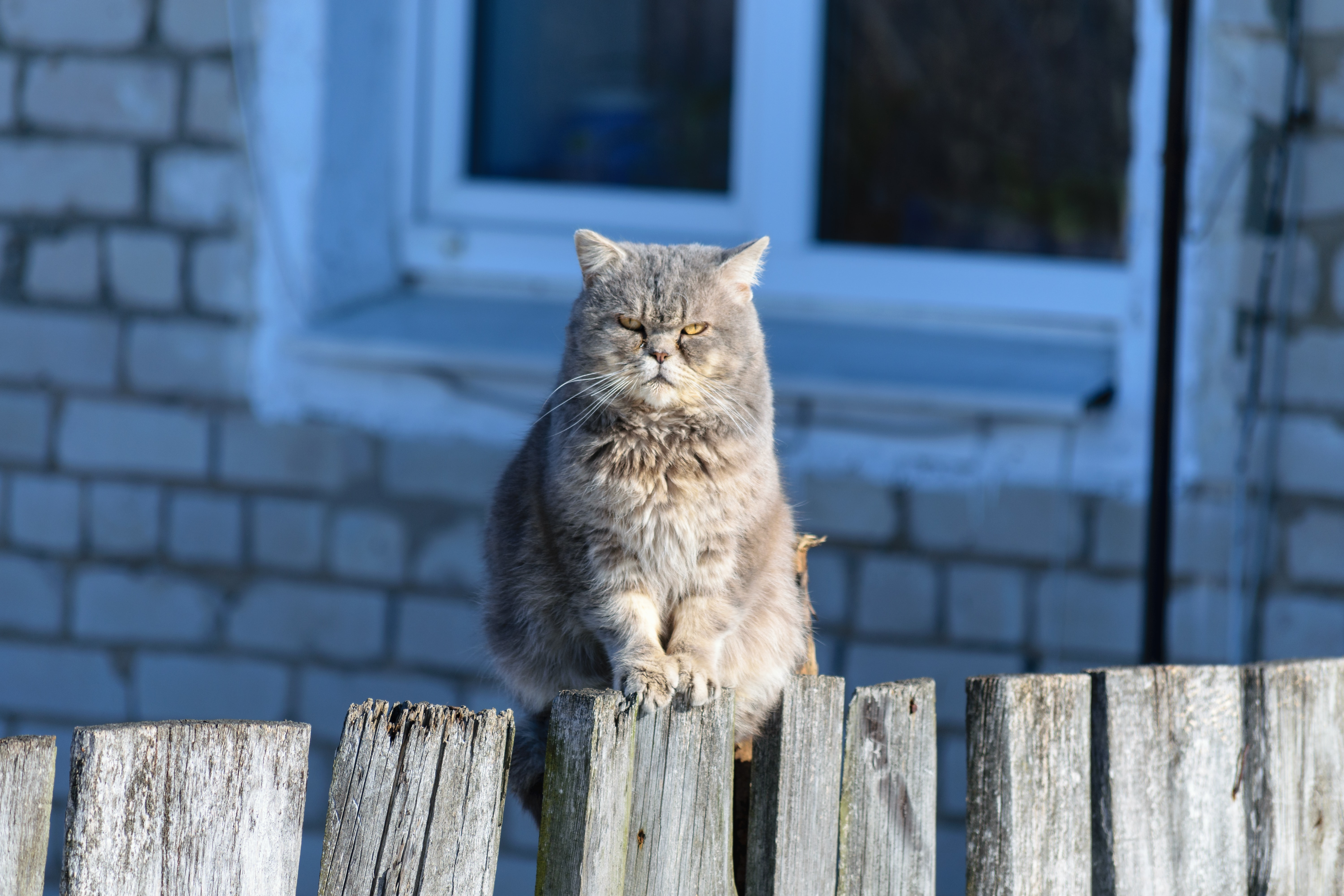 person taking photo of grey cat standing on wooden fence during daytime