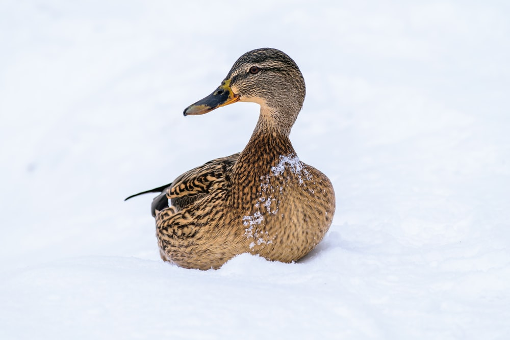 female mallard duck on snow covered surface