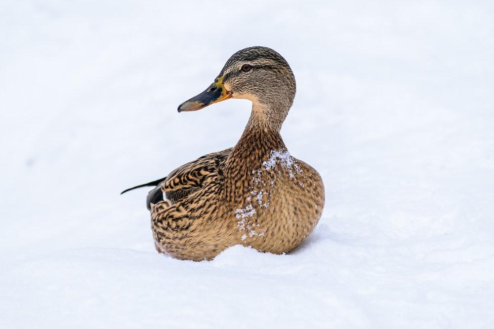 female mallard duck on snow covered surface