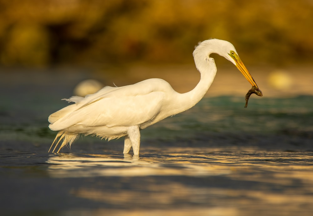 white bird eating fish standing in water