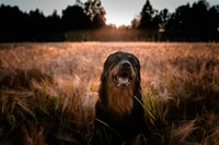 long-coated brown and black dog on brown field