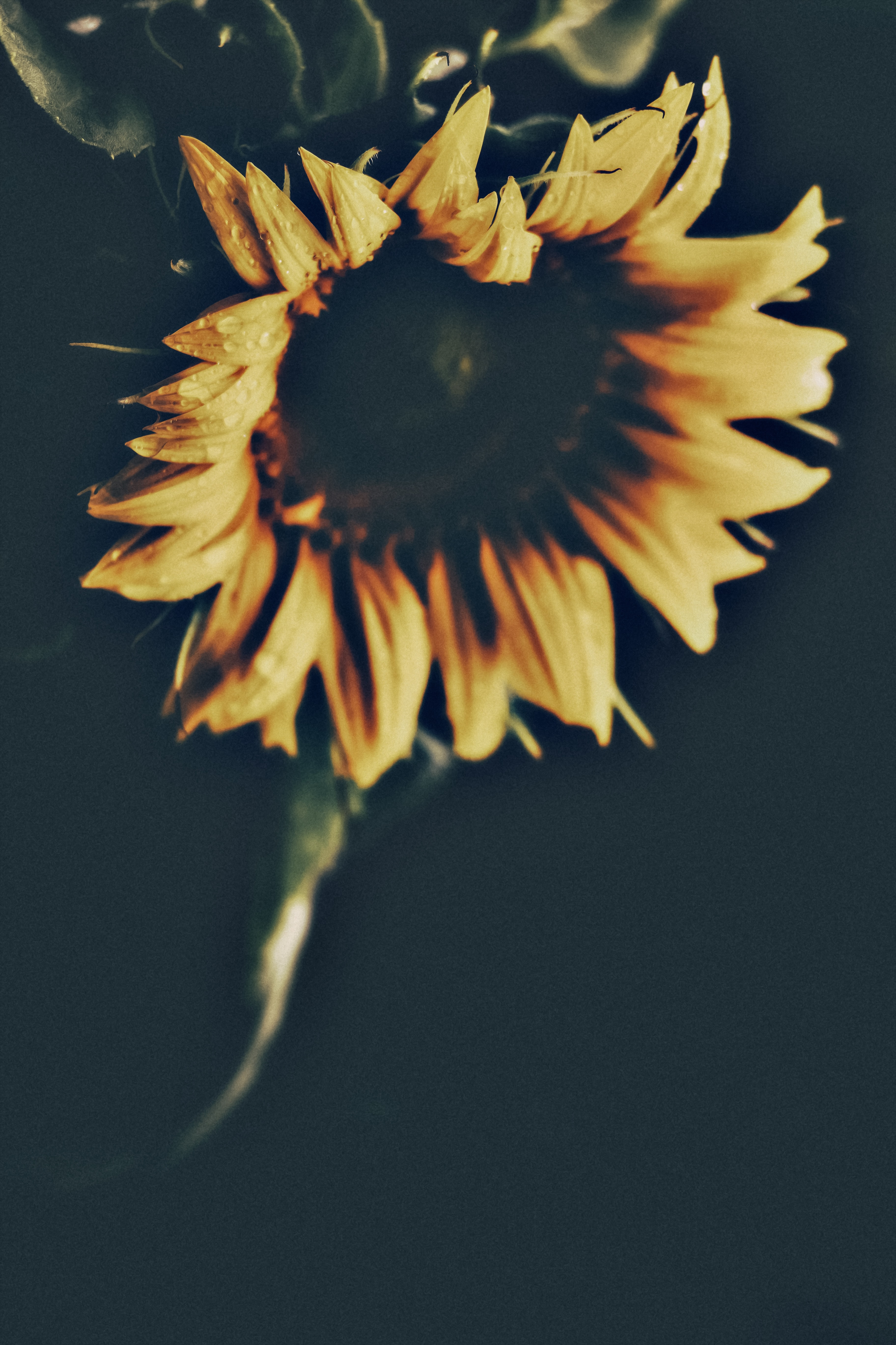 low light photography of sunflower