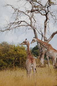 two giraffe standing near withered tree