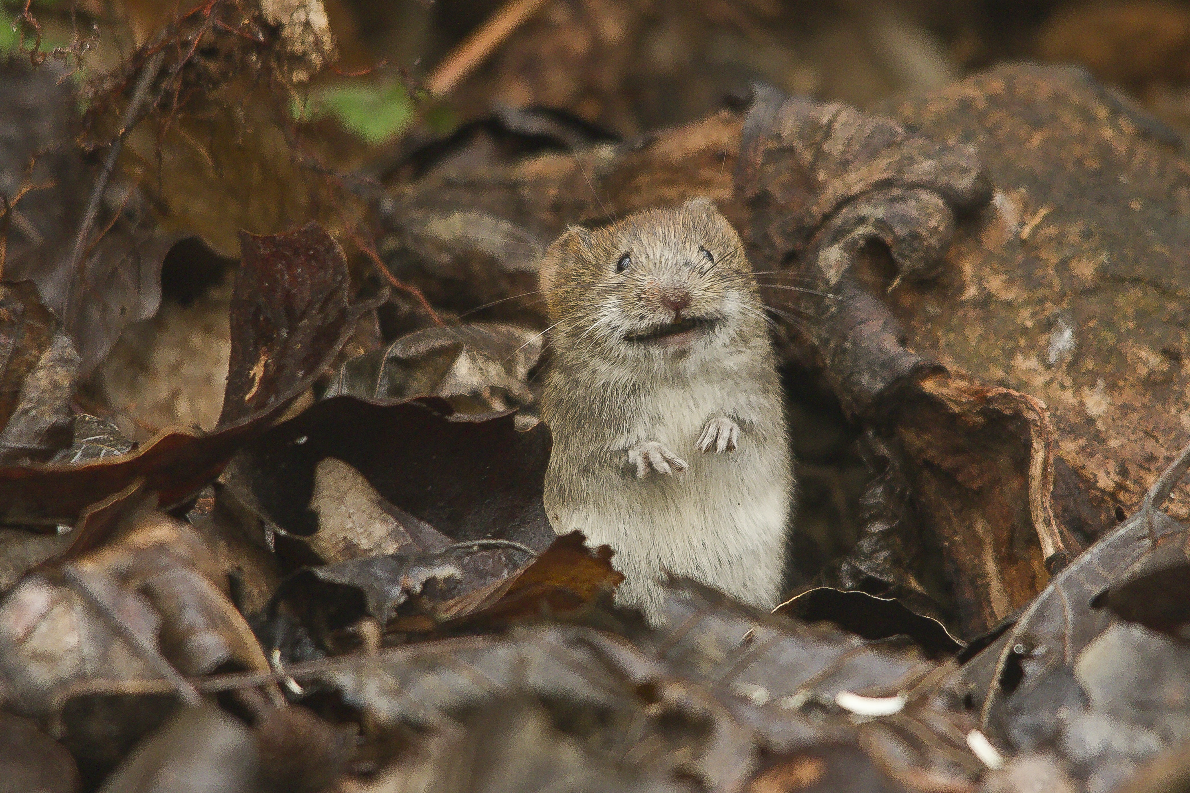 brown rodent on brown grass