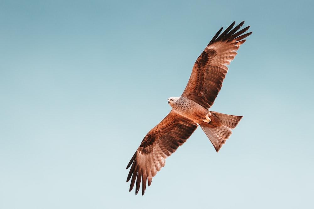 photo of brown hawk flying